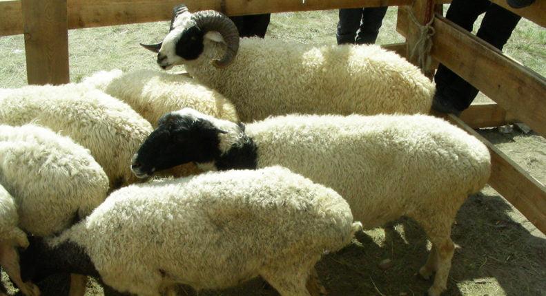 Тувинские овцы