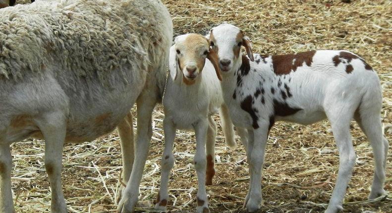 Дамарские овцы