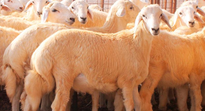 Породы жирнохвостых овец