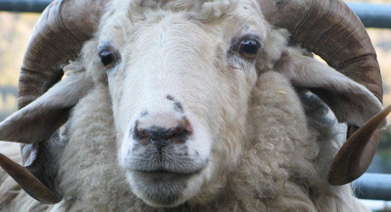 Крымская порода овец