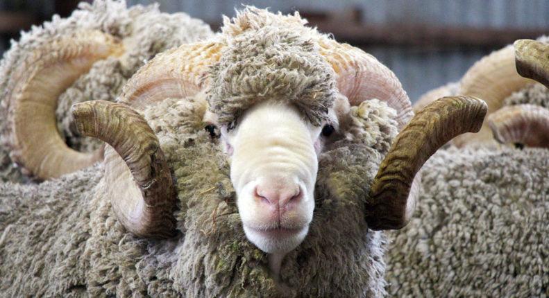 Меринос овца