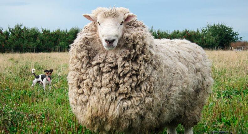 Овцематка мериносовая