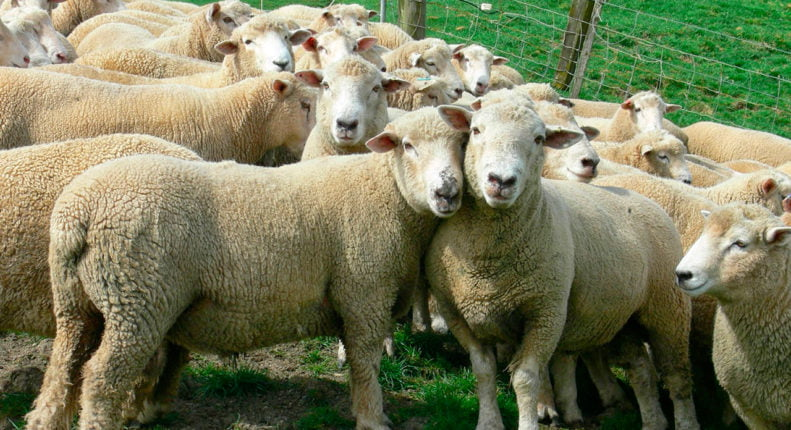 Новозеландская порода овец