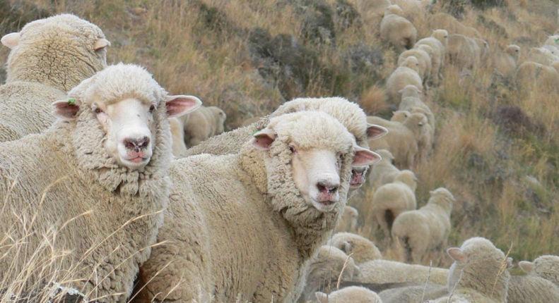 Корридели овцы