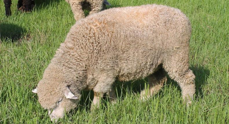 Ромни овцы
