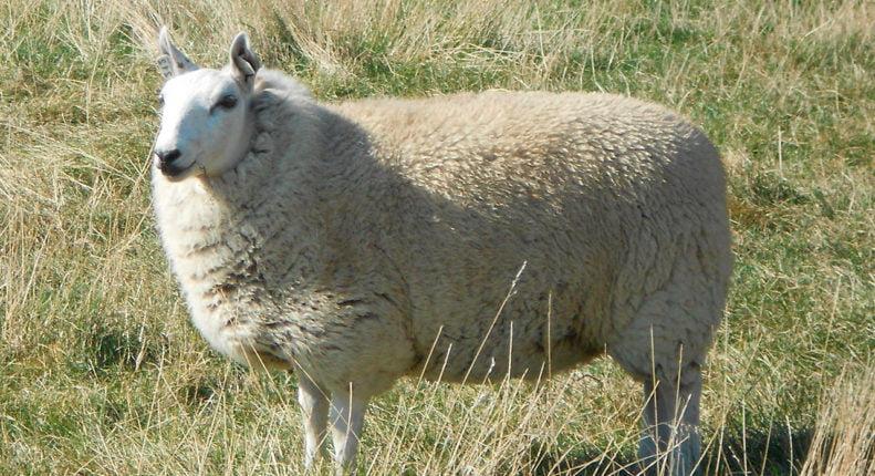Шевиот овцы