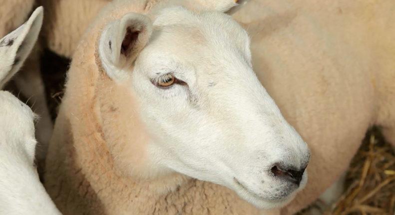 Шевиот порода овец
