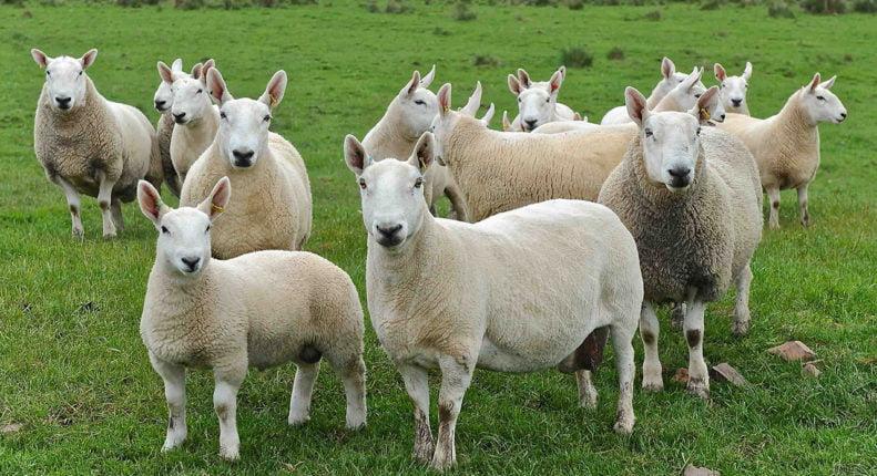 Самая выносливая порода овец