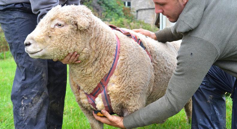 Возраст случки овец