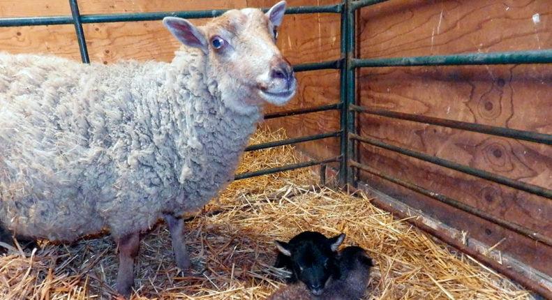 Окот овцы