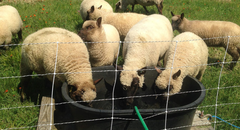 Поение овец