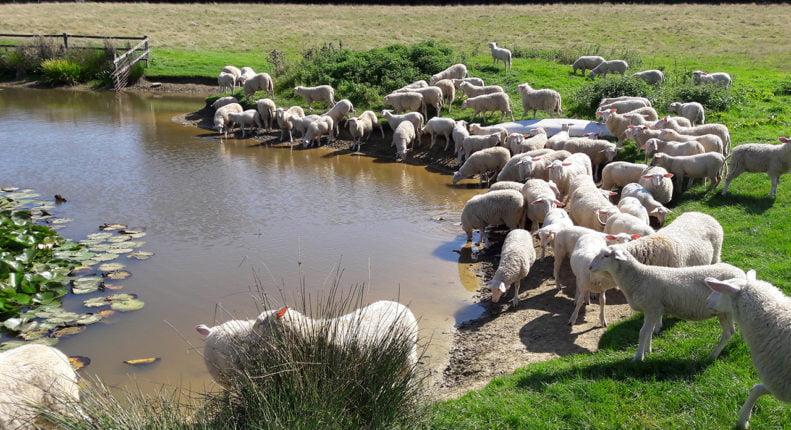 Паразиты печени овец