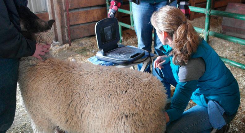 Дегельминтизации овец