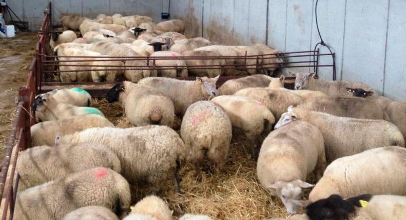 Рацион кормления овец в зимним период