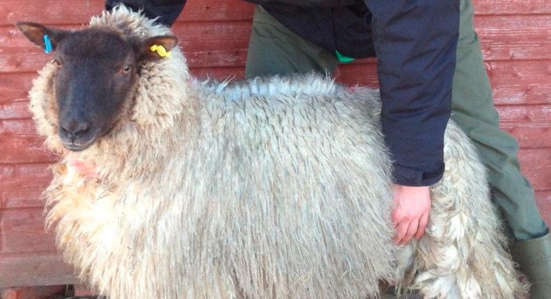 Экстерьер овцы