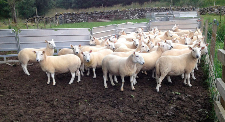 Классная бинитировка стада