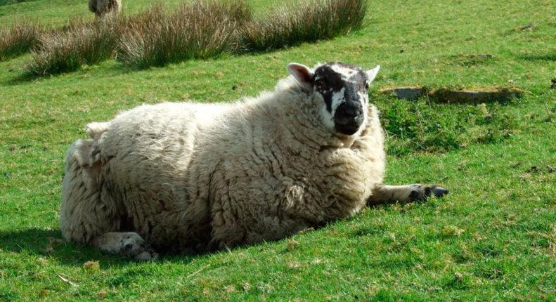Вздутие живота у овцы
