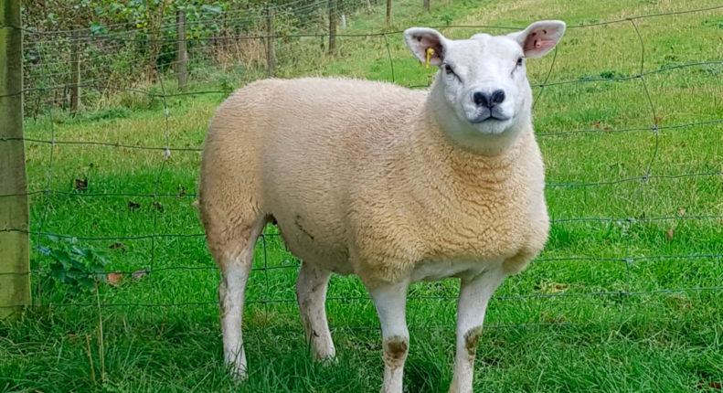 Племенной отбор в овцеводстве