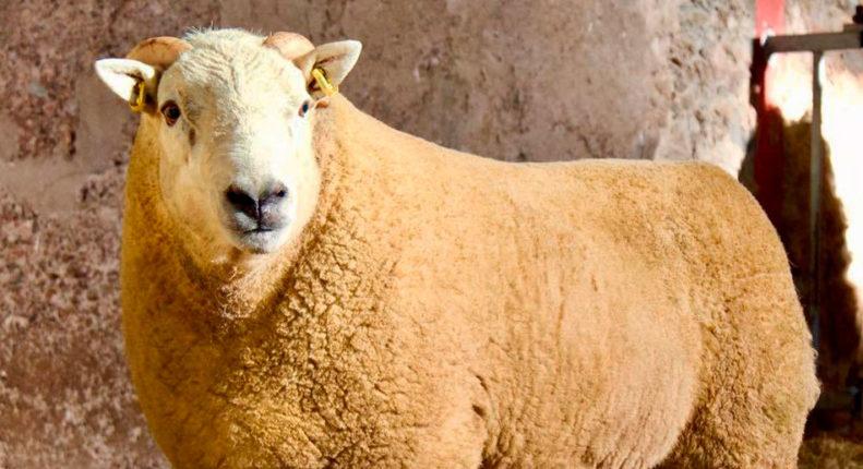 Плотная конституция овцы