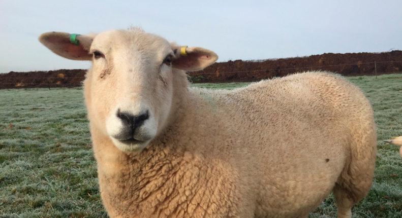 Качество кожи у овец