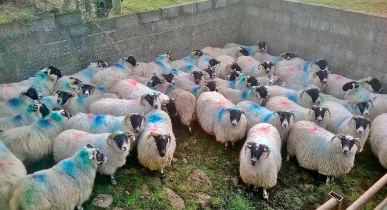 Классы овец