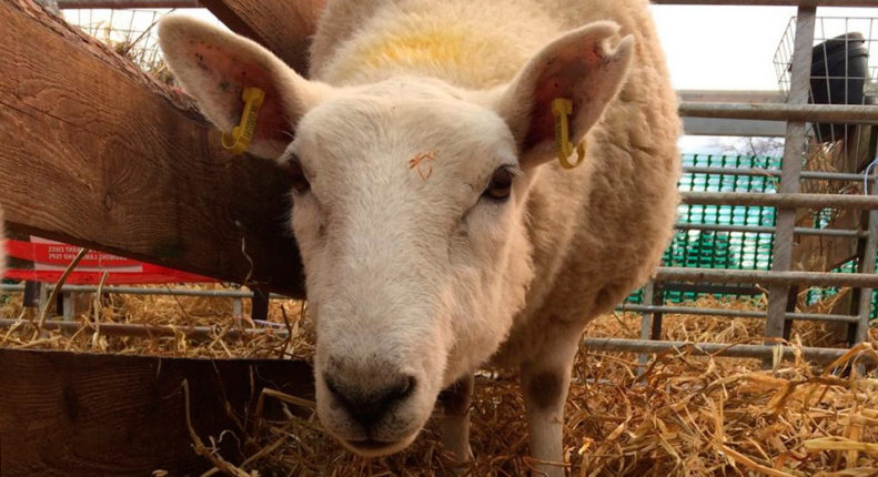Индивидуальная оценка овец