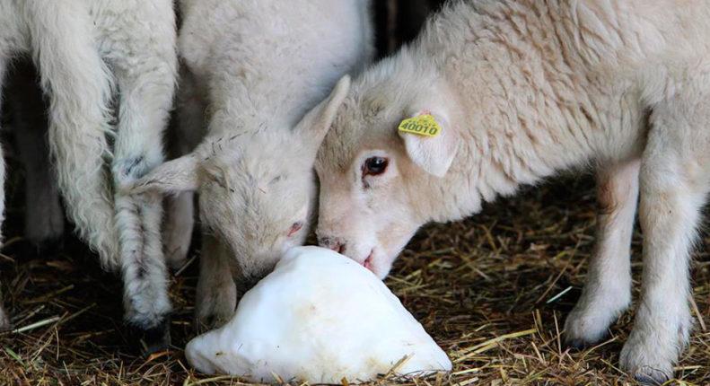 Овцы едят шерсть