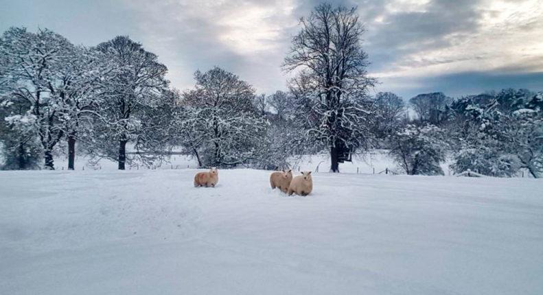 Кормление овец и баранов зимой