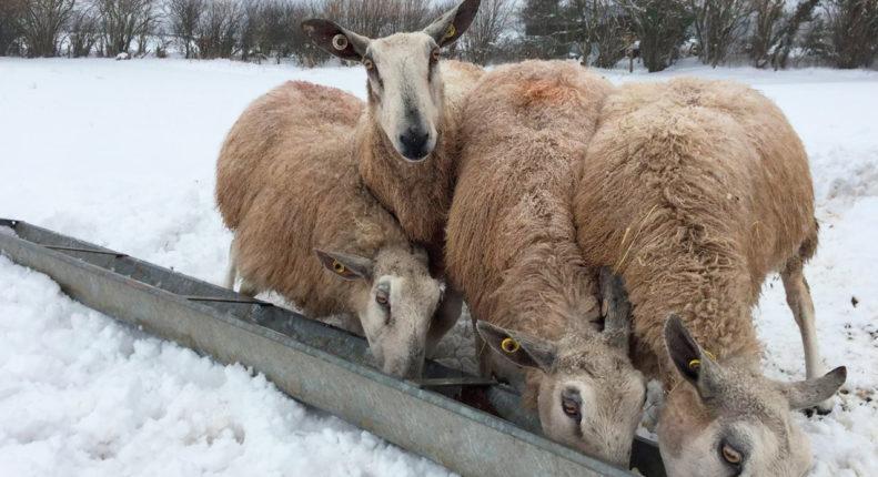 Корм для овец зимой