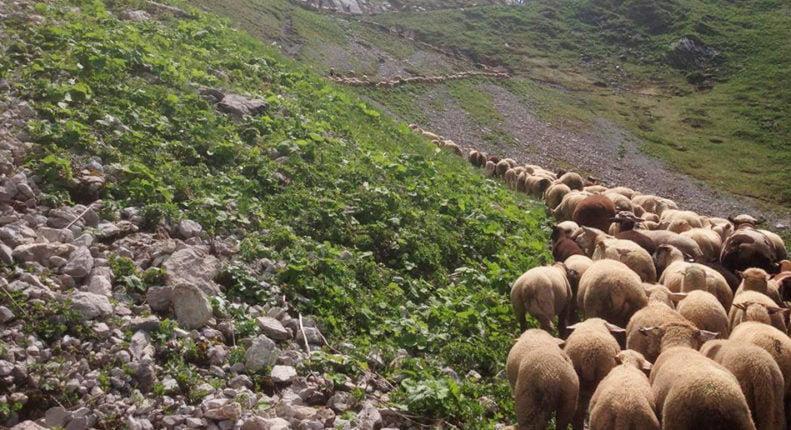 Отара домашних овец