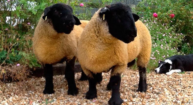 Выбор овец на племя