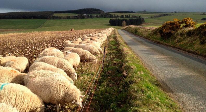 Заражение овец паразитами