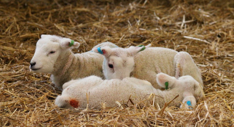 Отъем ягнят от овцы