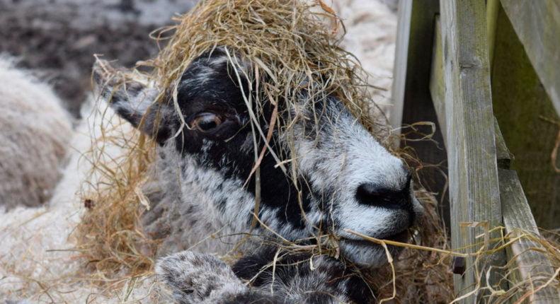 Сено для овцы