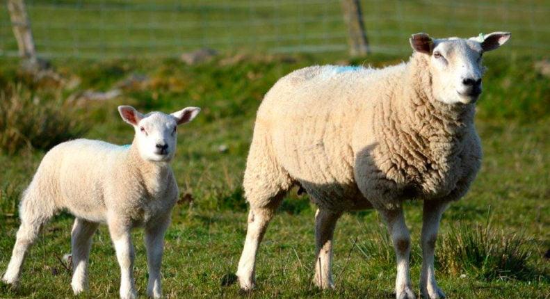 Породистые мясные овцы