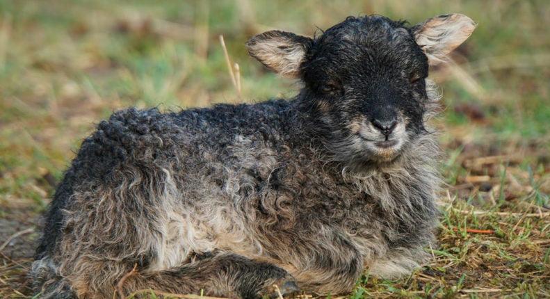 Ягненок короткохвостой овцы