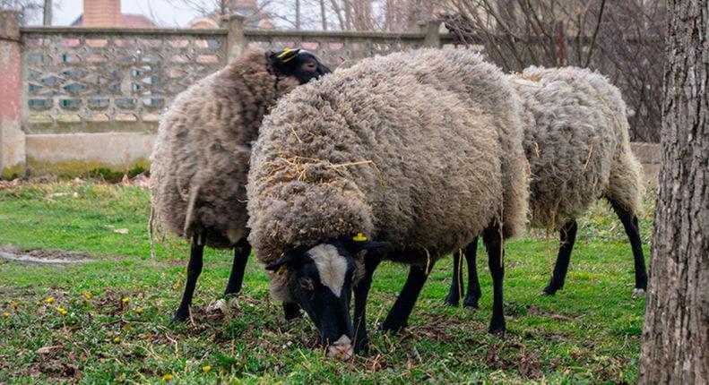 Северные короткохвостые овцы