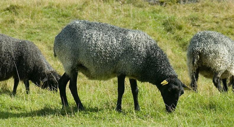 Недостатки овец романовской породы