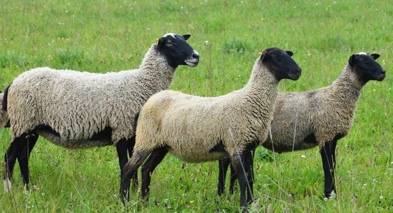 Экстерьер романовской овцы