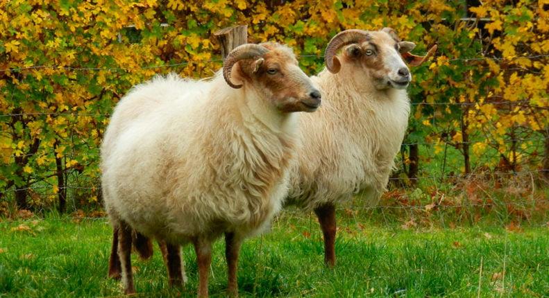 Вересковая овца