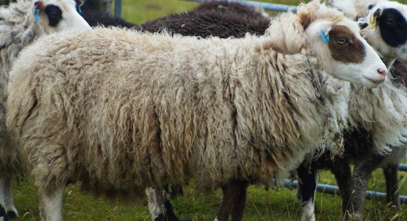 Шетланд овца
