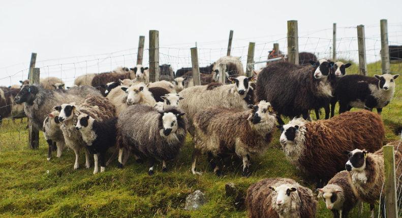 Шетландские овцы на пастбище