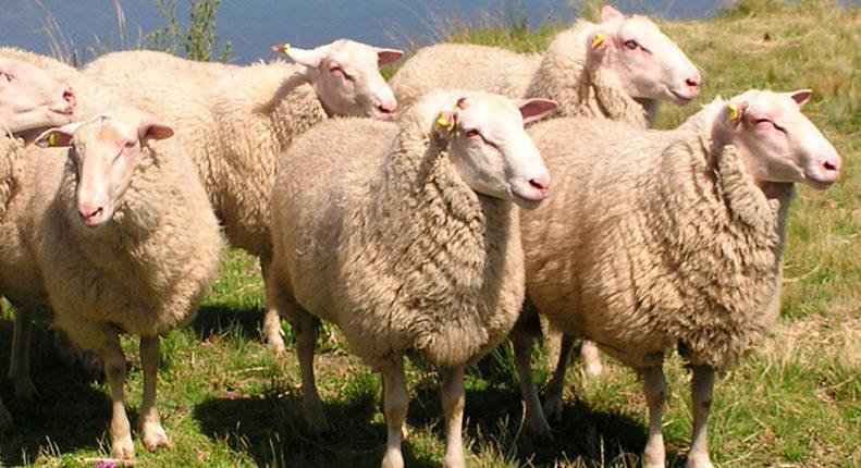 Восточно-фризския овцы