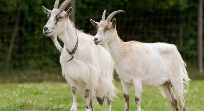 Домашняя коза с козлом