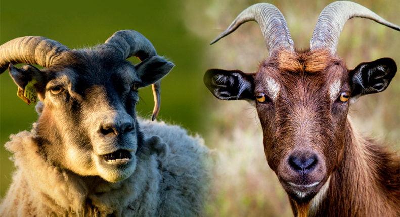 Чем коза отличается от овцы