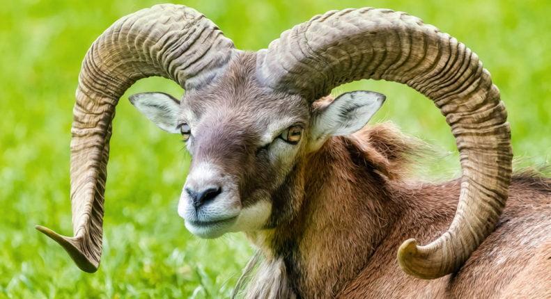 Предок домашней овцы