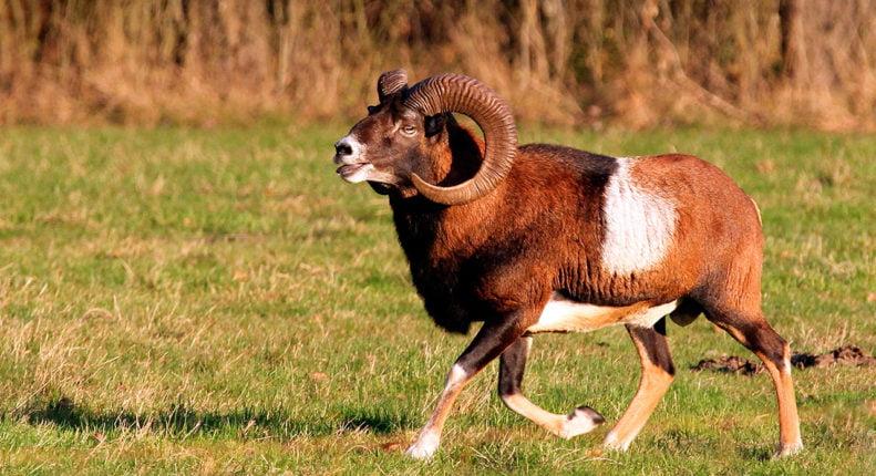 Европейский муфлон