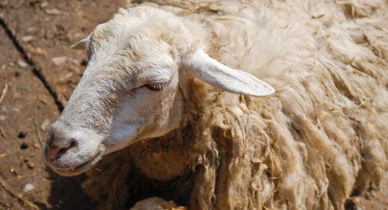Лечение чесотки у овец