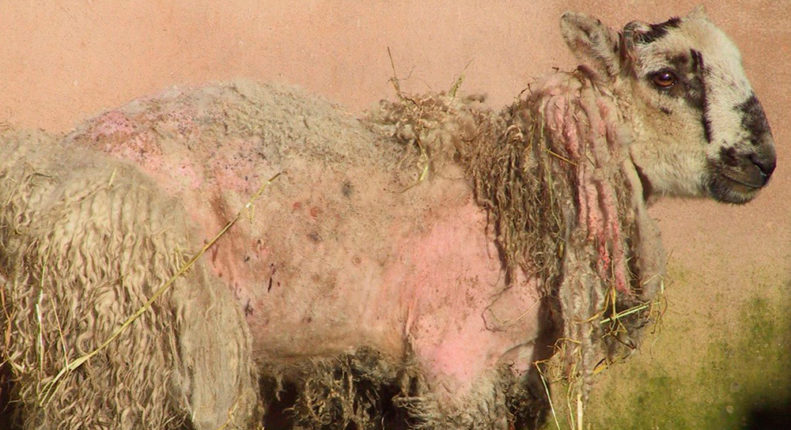 Короста овец