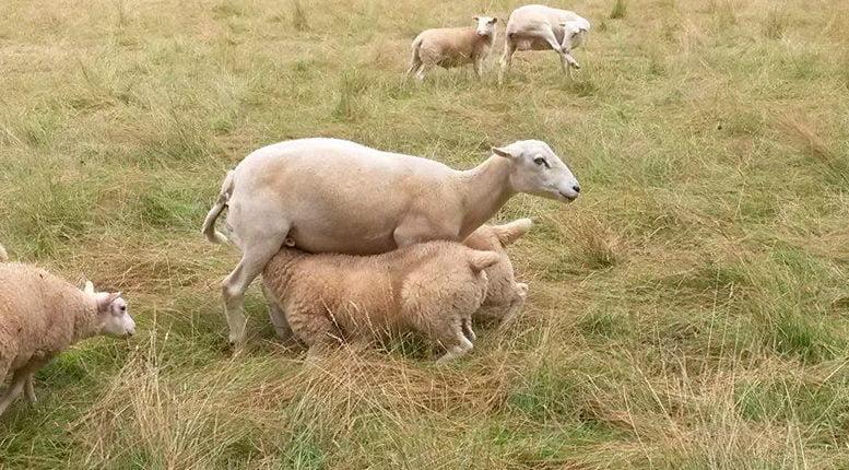 Овца с ягнятами на пастбище